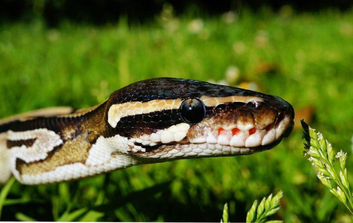 eddbadacccfadecb ball python