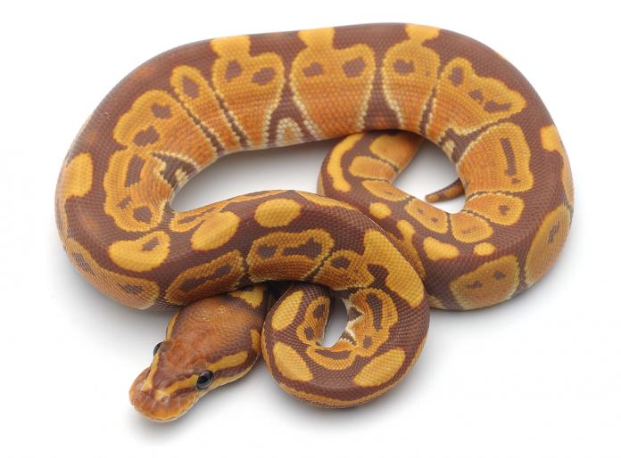 banana snake ball python sml