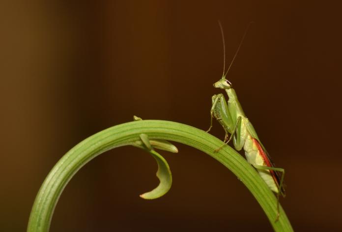 can you hold praying mantis