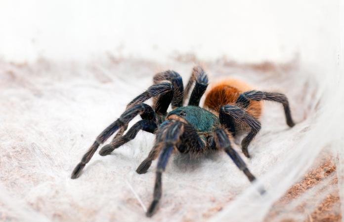 common tarantula questions