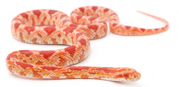do corn snakes bite