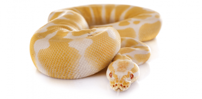 do snakes like being pets