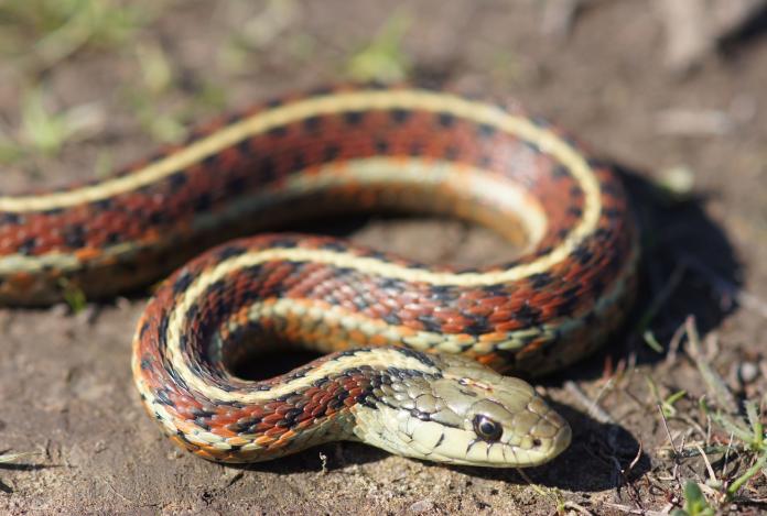 garter snake feeding food