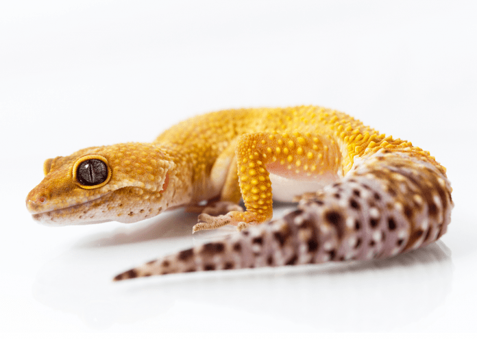 leopard gecko temperature