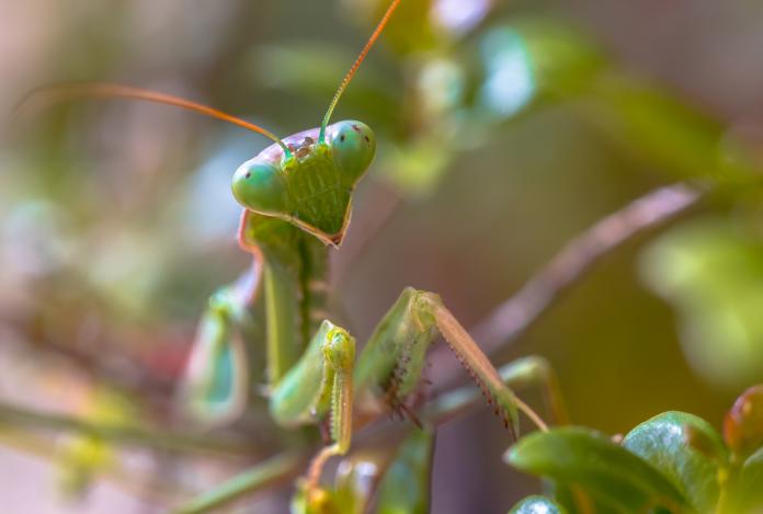 mantis eat mate