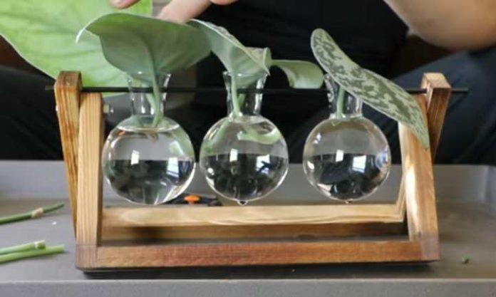Come coltivare facilmente Pothos in acqua