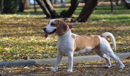 Addestramento al guinzaglio quando il cane tira o rifiuta di