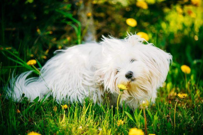 Allergie stagionali negli animali domestici aiutare il tuo amico peloso
