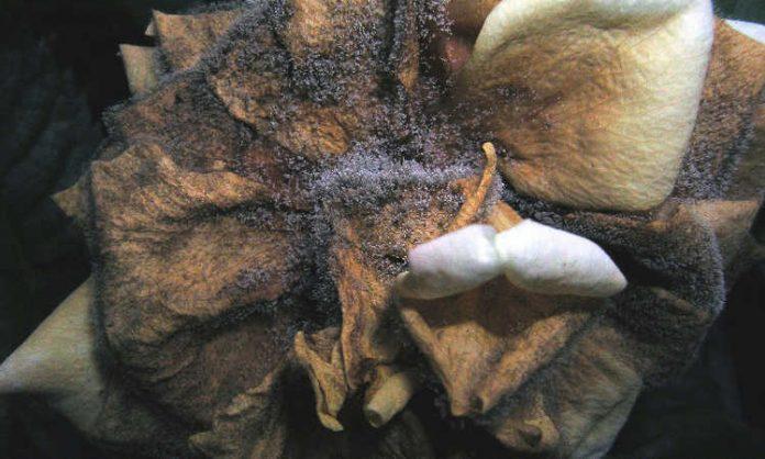 Botrytis Cinerea come prevenirla e controllarla