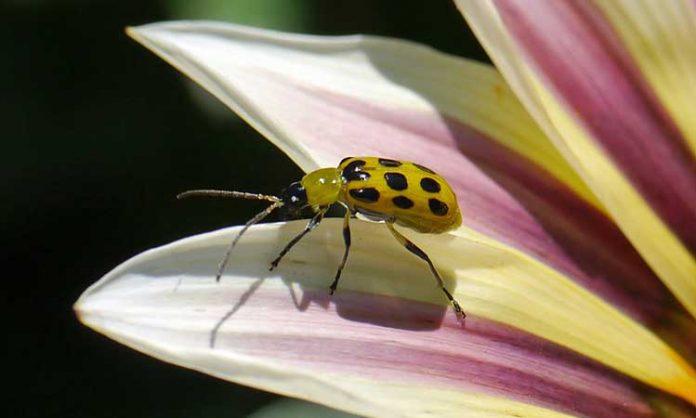 Cetriolo Beetle Battle come liberare il tuo giardino da questi