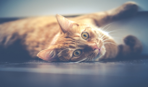 Che cosè Catnip e perché i gatti impazziscono per questo