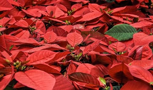 Doggy Danger attenti a queste piante natalizie