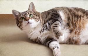 Il mio animale domestico è in sovrappeso Obesità degli animali