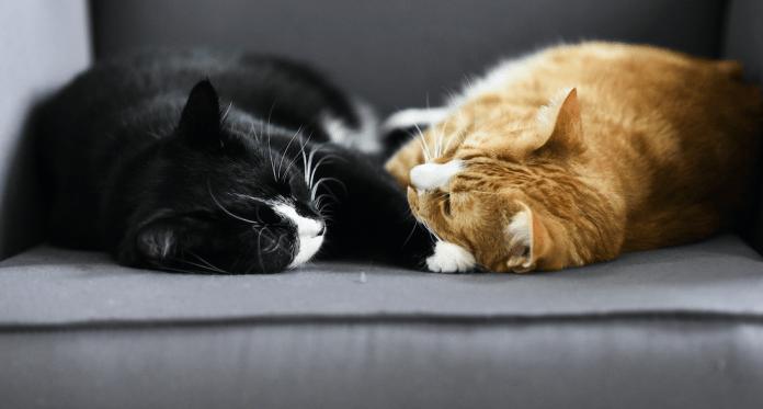 Presentazione di un nuovo gatto a casa tua Introduzione al