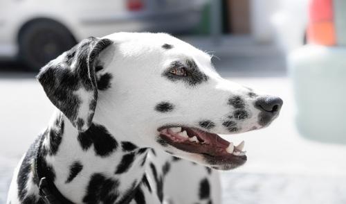 Quali sono le razze di cani più pulite