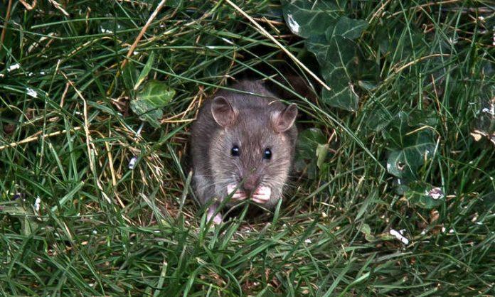 Rat Proof Garden come sbarazzarsi dei roditori negli spazi del