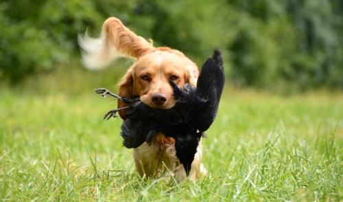 Suggerimenti per lalimentazione del cane da caccia