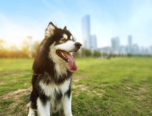 The Heat on the Street Summer Safety for Urban Pets