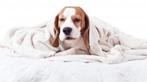 Una domanda stagionale il tuo cane può catturare un virus
