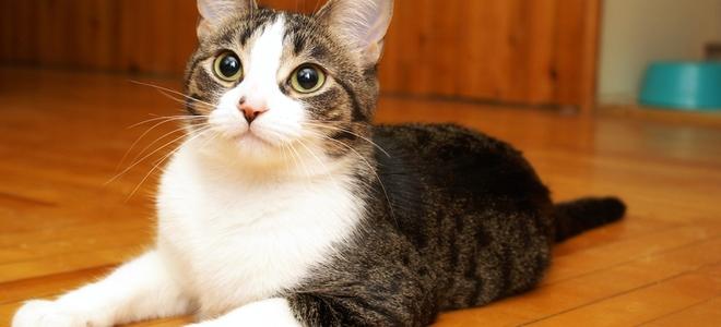 Come rimuovere lodore di urina di gatto dalle assi del