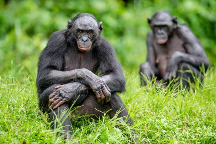 differenze tra scimpanzé e bonobo