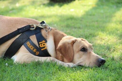 Agente di cani poliziotto vita e addestramento di un ufficiale