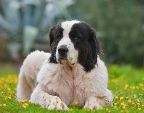 All About the Landseer I miei animali