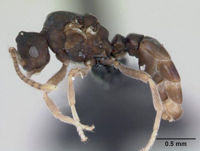 Anergates Atratulus Le formiche e il loro incredibile comportamento