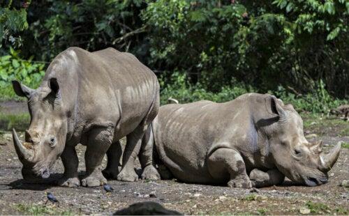 Caratteristiche e abitudini alimentari del rinoceronte di Giava