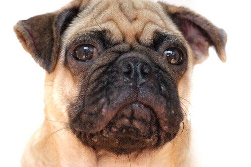 Caratteristiche e trattamenti per lacne nei cani