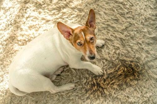 Cinque motivi per cui i cani urinano in casa