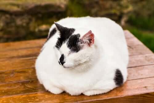 Come trattare lobesità nei gatti