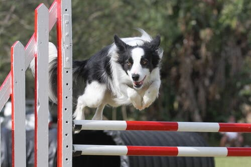 Competizioni di agilità e Border Collie