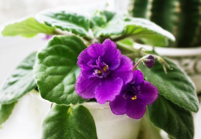 Cura della viola africana cura adeguata e suggerimenti per la