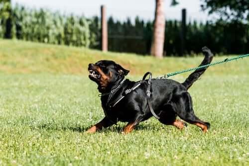 Difesa e addestramento in attacco nei cani