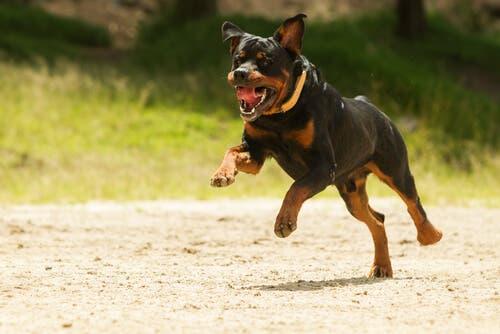 Formazione professionale per Rottweiler I miei animali