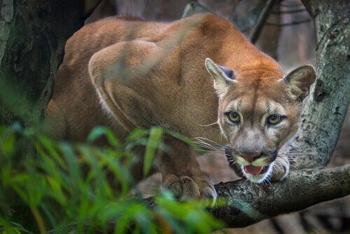 Il Puma è il grande predatore americano