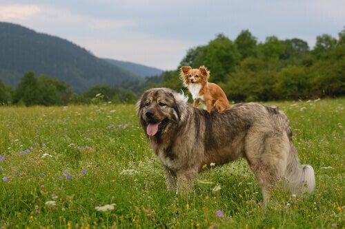 Il pastore caucasico un gigante tra i cani