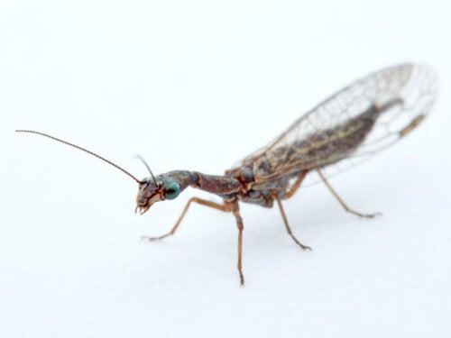 Insetti di controllo utilizzati per il controllo biologico dei parassiti