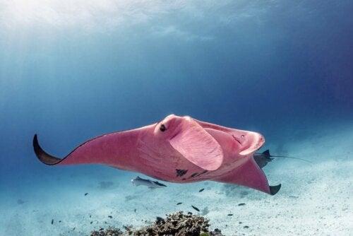 La Manta Rosa della Grande Barriera Corallina