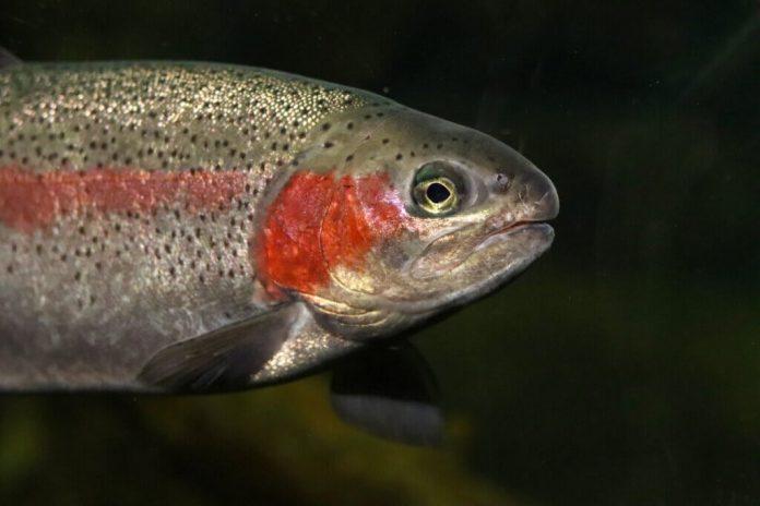 La trota iridea un salmonide multicolore