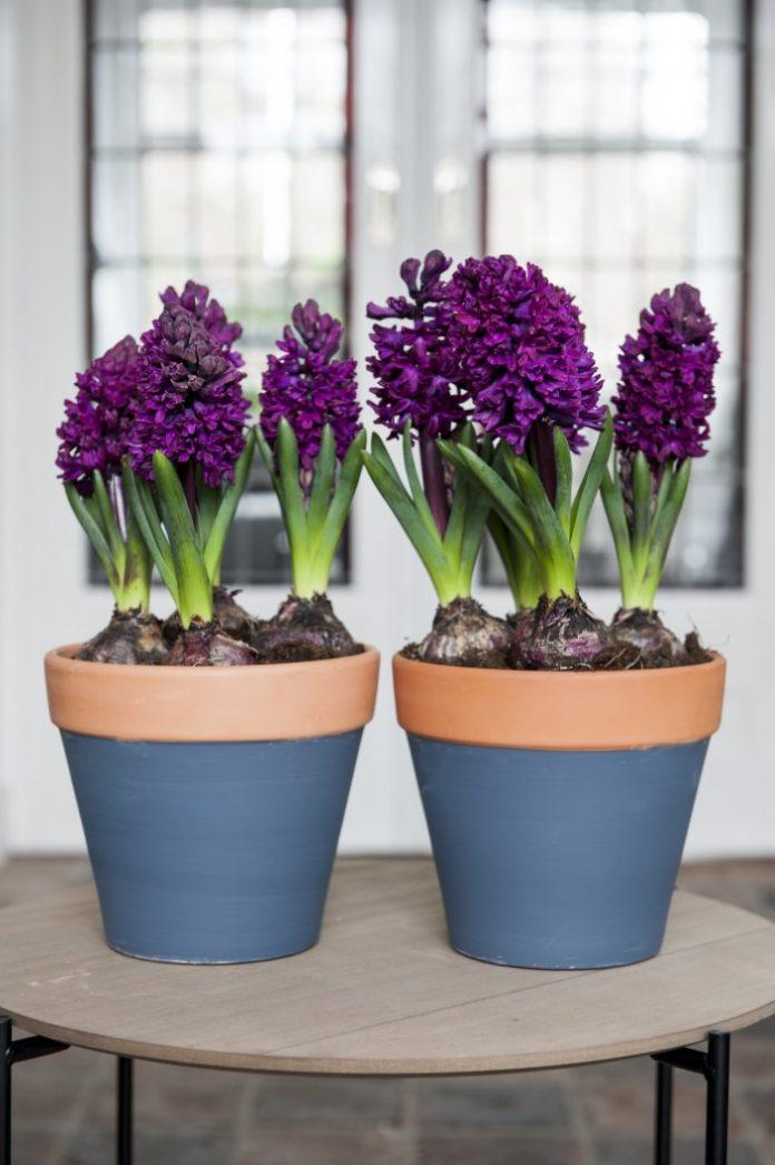 La tua guida alla coltivazione di bulbi indoor