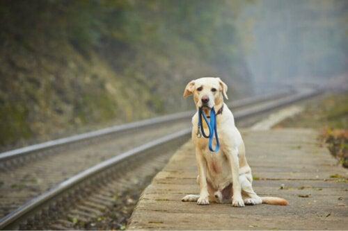 Lost Dog ha camminato per miglia per tornare a