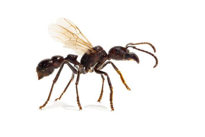 Quanto è pericolosa la formica proiettile