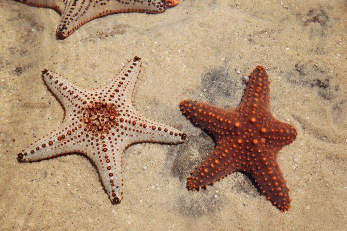 Rigenerazione delle stelle marine il segreto della vita