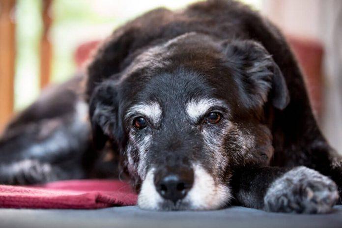 Scopri i segni della senilità nei cani