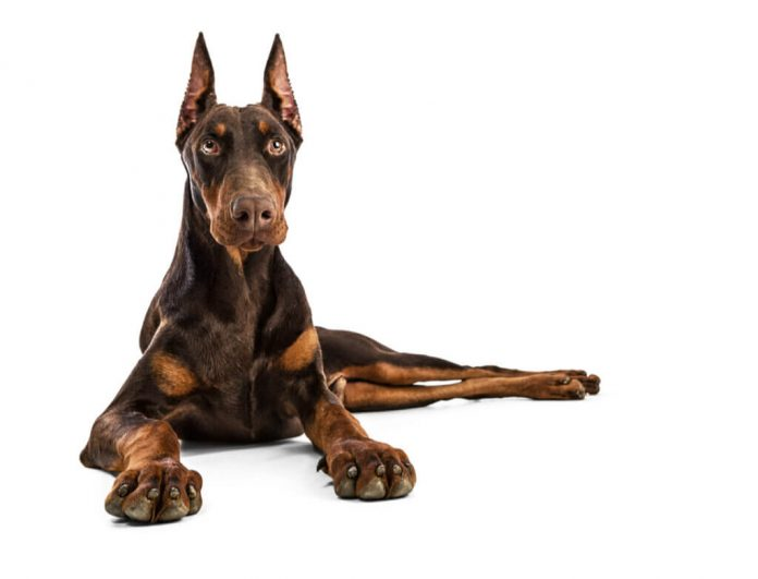 Scopri le sette migliori razze di cani da guardia