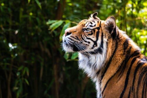 Sulle orme di una tigre siberiana
