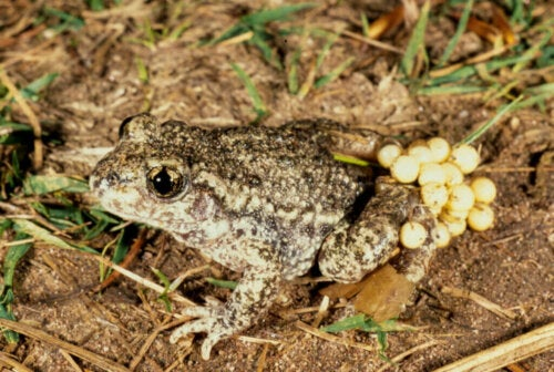 The Common Midwife Toad My Animals