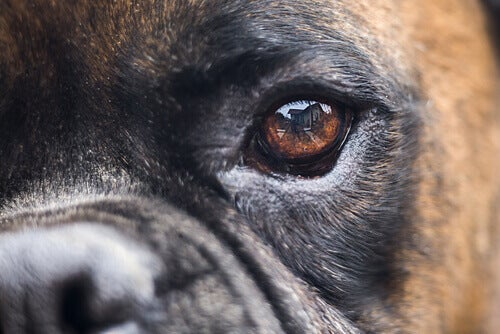 Trattamenti per la cecità nei cani alternative